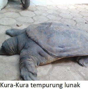 Kura-Kura tempurung lunak