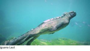 Iguana Laut