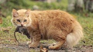 Membawa Bangkai Tikus Ke Rumah