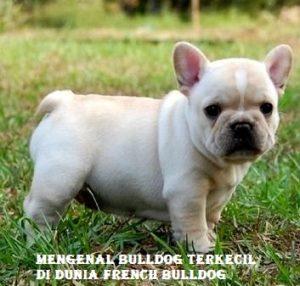 Mengenal Bulldog Terkecil di Dunia French Bulldog