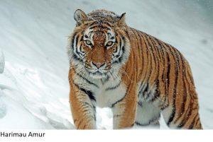 Jenis Subspesies Harimau Yang Belum Punah di Dunia