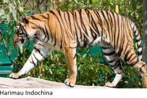 harimau indochina