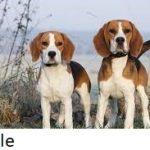 Daftar Jenis Anjing Lucu Yang Bisa Dipelihara di Rumah