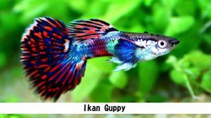 Jenis Ikan Hias Yang Bisa Kamu Pelihara di Rumah
