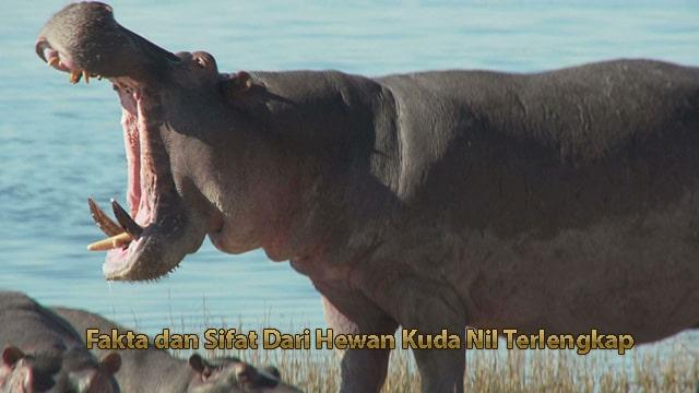Fakta dan Sifat Dari Hewan Kuda Nil Terlengkap
